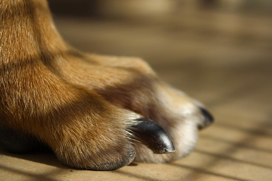 Accorciare l'unghia del cane