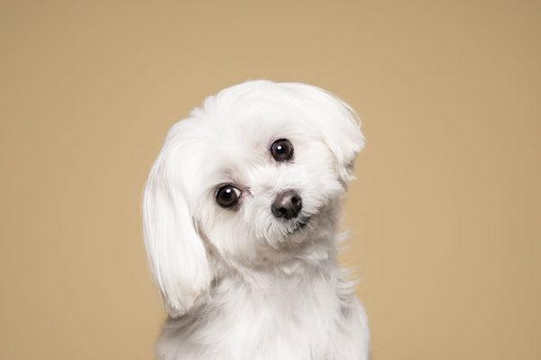 Sbiancare il pelo del cane maltese