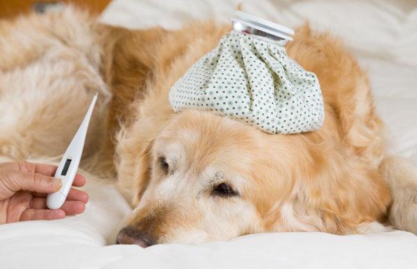 Come misurare la temperatura al cane