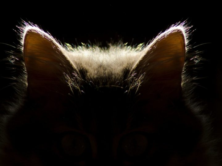 Guida definitiva su come pulire le orecchie al gatto
