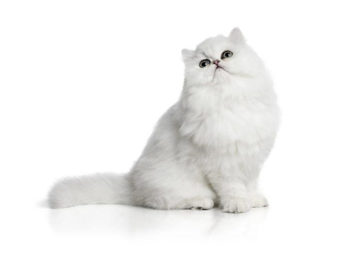 Coccole senza nodi: gatti a pelo lungo e come toelettarli