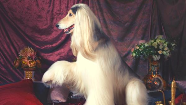 cane elegante levriero